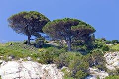 在岩石的杉木 免版税库存照片