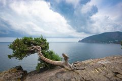 在岩石的杜松以海为背景 库存图片
