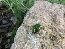 在岩石的某一甲虫 免版税库存图片