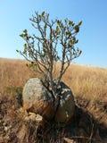 在岩石的树 免版税库存图片