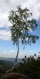 在岩石的桦树 免版税库存照片