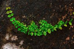 在岩石的榕属pumila在自然森林里 免版税库存照片