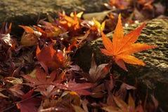 在岩石的槭树 库存照片