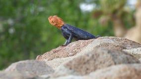 在岩石的橙色和蓝色蜥蜴 免版税库存图片