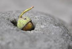 在岩石的橡子 库存图片