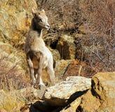在岩石的比格霍恩羊羔 图库摄影