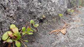 在岩石的毛虫 免版税库存图片