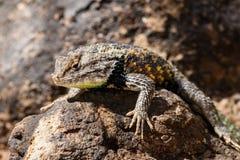 在岩石的沙漠多刺的蜥蜴 免版税图库摄影