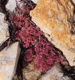 在岩石的沿海红色多汁植物 免版税图库摄影