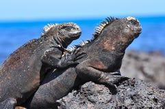 在岩石的海产鬣蜥蜴 免版税图库摄影