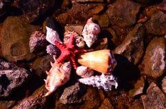 在岩石的海壳 免版税库存照片