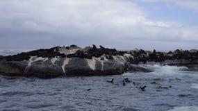 在岩石的海狮在自然环境里 库存图片