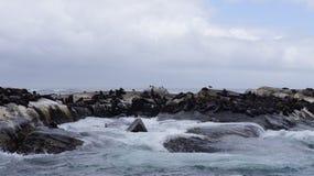 在岩石的海狮在自然环境里 免版税图库摄影