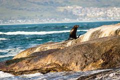 在岩石的海狮 图库摄影