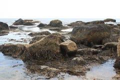 在岩石的海草 免版税库存照片