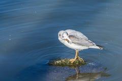 在岩石的海鸥 免版税库存照片