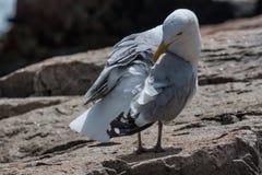 在岩石的海鸥 免版税库存图片