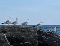在岩石的海鸥 库存图片
