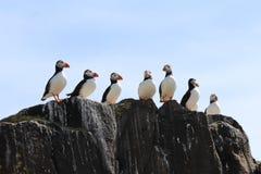 在岩石的海鹦在五月岛 图库摄影