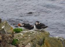 在岩石的海鹦在LÃ ¡ trabjarg,冰岛的西峡湾区 免版税库存图片