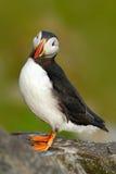 在岩石的海鹦 从Icelland的海鸟 在岩石峭壁的逗人喜爱的鸟 大西洋海鹦, Fratercula artica,北冰黑白 免版税库存照片