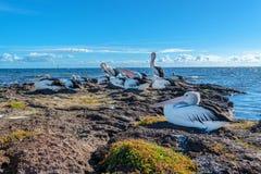 在岩石的澳大利亚鹈鹕在Beaumaris 免版税库存图片
