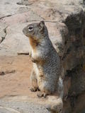 在岩石的灰鼠 库存照片