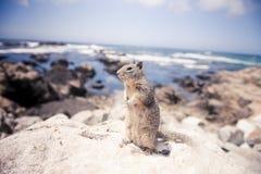 在岩石的灰鼠 免版税库存照片