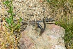 在岩石的灰鼠 免版税库存图片