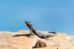 在岩石的爬行动物 免版税库存照片