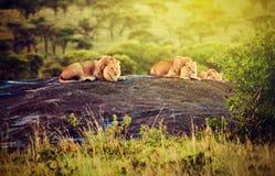 在岩石的狮子在日落的大草原。 徒步旅行队在Serengeti,坦桑尼亚,非洲 免版税库存图片