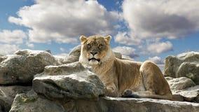 在岩石的狮子 免版税库存照片