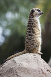 在岩石的猫鼬 库存照片