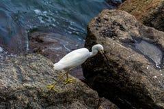 在岩石的白色苍鹭 免版税图库摄影