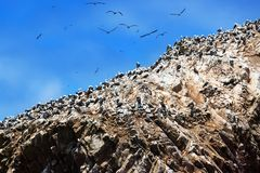 在岩石的秘鲁gannets 免版税库存图片