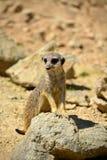 在岩石的站立的Meerkat 免版税库存照片