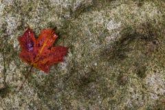 在岩石的红槭叶子 免版税库存照片