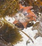在岩石的红色海星 库存图片