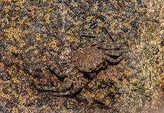 在岩石的纹理螃蟹 库存图片