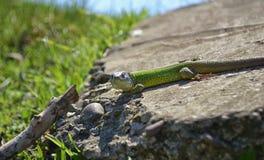 在岩石的绿蜥蜴 免版税库存图片