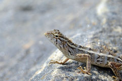 在岩石的美丽的小的蜥蜴在自然细节照片 库存照片