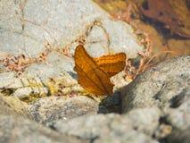 在岩石的美丽的橙色蝴蝶在森林里 免版税库存照片