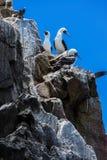 在岩石的美好的gannets 免版税库存图片
