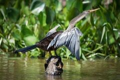 在岩石的美洲蛇鸟传播的翼由芦苇 图库摄影