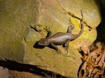 在岩石的肥胖蜥蜴 免版税库存图片