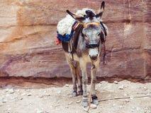 在岩石的背景的小驴 免版税图库摄影