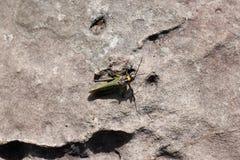 在岩石的臭虫生活 库存照片