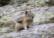 在岩石的花栗鼠在原野 免版税图库摄影