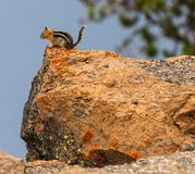 在岩石的花栗鼠 免版税图库摄影