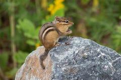 在岩石的花栗鼠 免版税库存照片